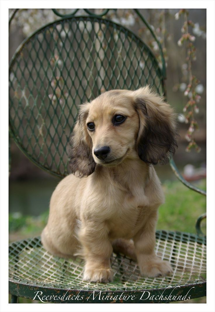 All True English Cream Dachshunds Are Long Haired Have A Black Nose Black Nails And Black Eyeliner Around The Rims Of Their Eyes Description With Images Dachshund Puppies