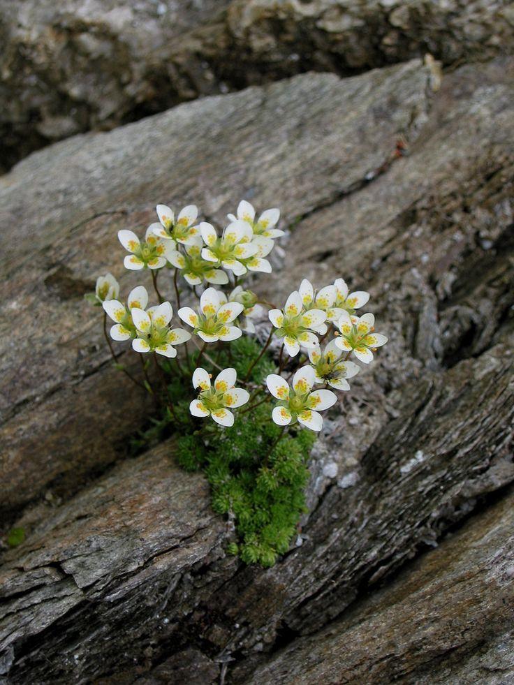Saxifraga bryoides | Saxifraga bryoides STEINBRECH Wir wisse… | Flickr