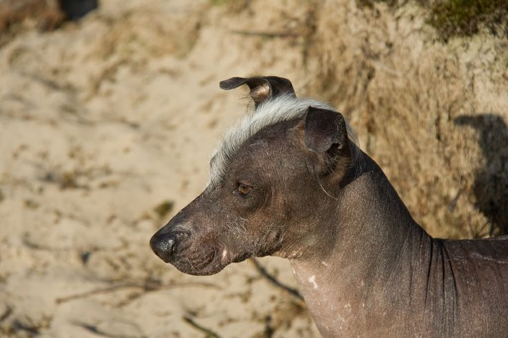 Naqui - Peruvian Hairless Dog. Late afternoon sunshine at the sand dunes of Soesterduinen, The Netherlands.