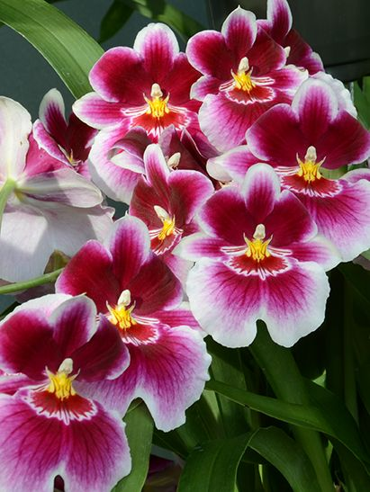 The Orchid Miltoniopsis Is A Genus Of Six Tropical Species Native To Costa Rica Panama Venezuela Colombia And Ecuador Grow In