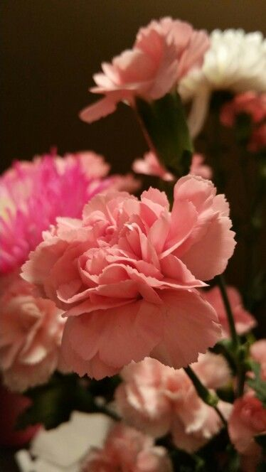 Carnation beauty