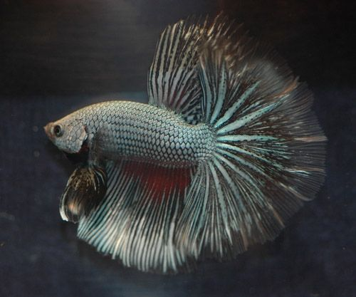 Check out these cool betta fish pictures for some ideas of for Cool freshwater fish