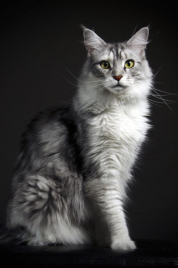 Kitteh Kats - cat, cats, kitty, gatto, puss, neko, kitten, katzen, gatti, kat, katze, basically cats Maine coon by Christian Schweitz