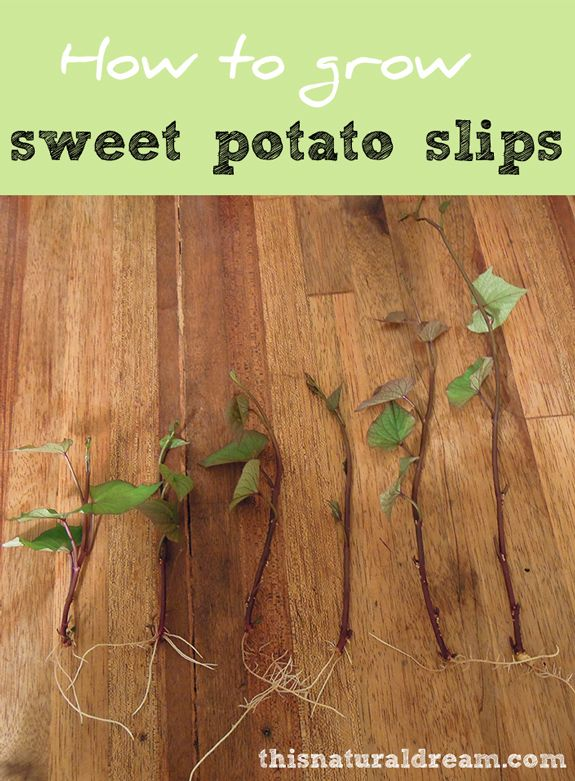 Frugal gardeners know that growing your own slips leads to more sweet potatoes to harvest. And more sweet potatoes to harvest means more sweet potato pie in the fall. Ryan at This Natural Dream blog shows you step by step how to grow your own sweet potato slips. || @naturaldream