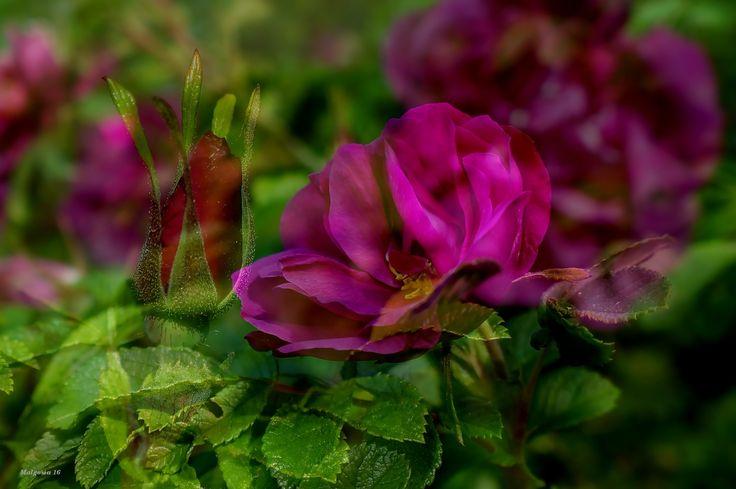 Purpurowe róże