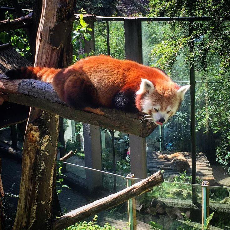 Panda červená...