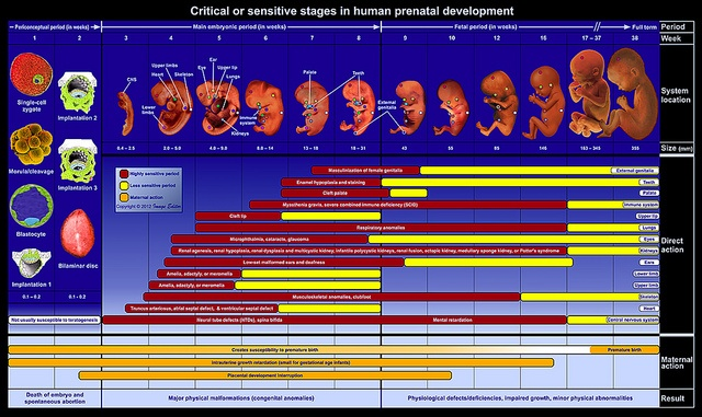 Critical or sensitive stages in human prenatal development by Image Editor, via Flickr