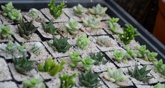 mini succulents