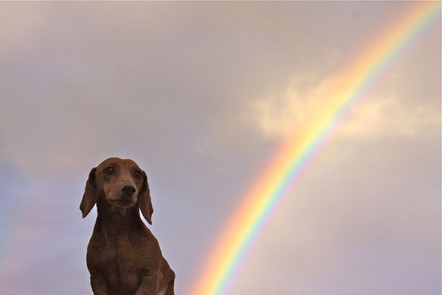 {Weenbow} by The Noisy Plume, via Flickr - Penelope & the Rainbow xox: Doll, Old Dogs, Farts Rainbows, Rainbows Doxi, Dogs Poop, Rainbows Xox, Weiner Dogs, Pots Of Gold, Cute Dogs
