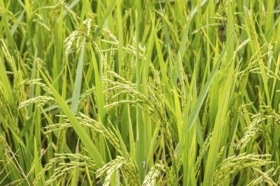 Growing Rice At Home: Learn How To Grow Rice - Rice is one of the oldest and most revered foods on the planet. Rice requires tons of water plus hot, sunny conditions to grow. This makes planting rice impossible in some areas but you can grow your own rice at home, sort of. Click here to learn more.