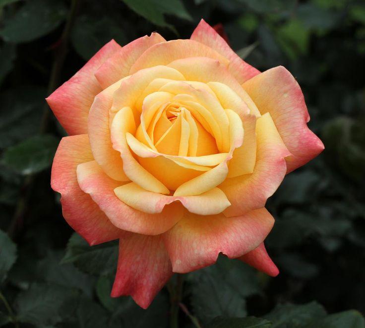 ~Hybrid Tea Rose 'Dame Elisabeth Murdoch' << a lovely lady ...