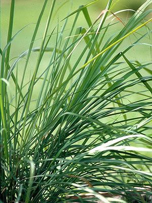 17 best images about ornamental grass on pinterest for Hearty ornamental grasses