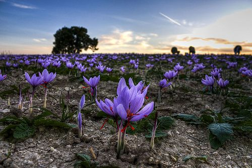 saffron growing in greece