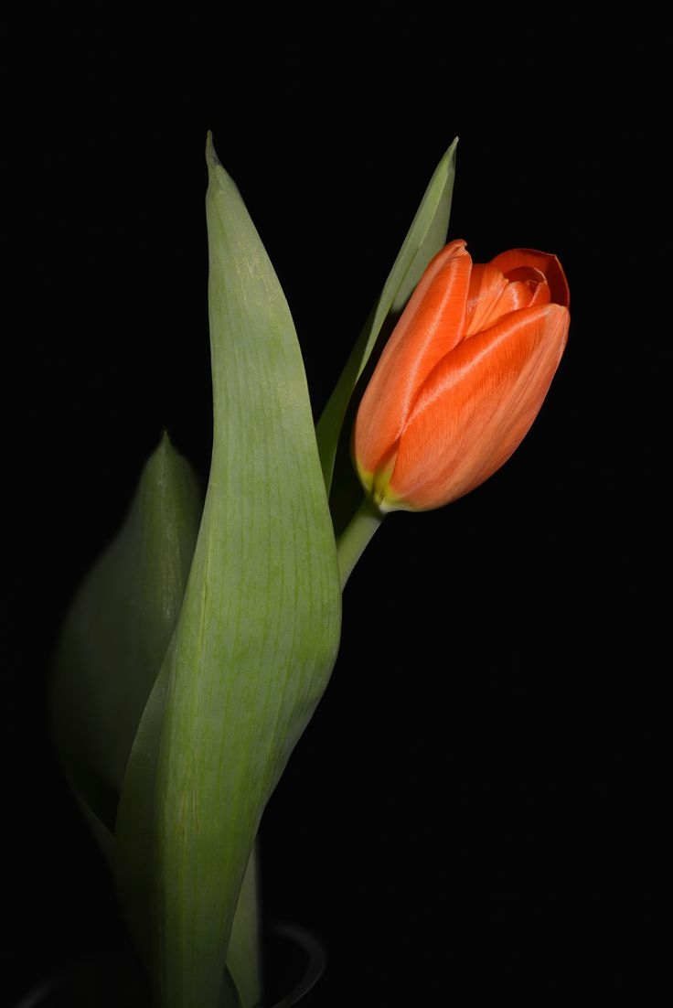 Tulip by Robert Williams on 500px