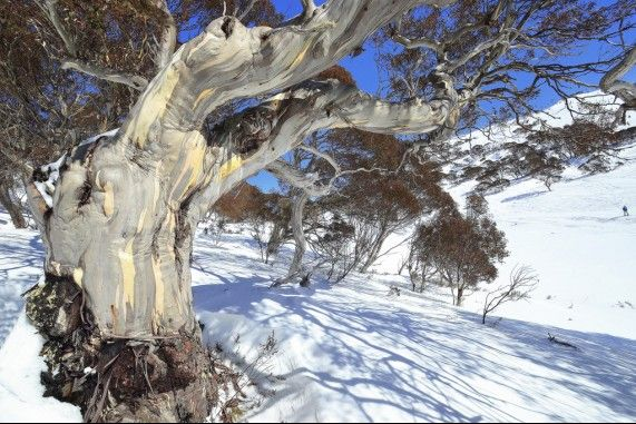 The beautiful Australian snow gum in the Australian Snowy Mountain. #SnowyMountains #Snowgum #Australia #NewSouthWales