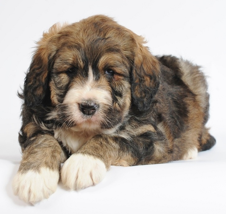 bernedoodles -- they are hypoallergenic and don't shed!