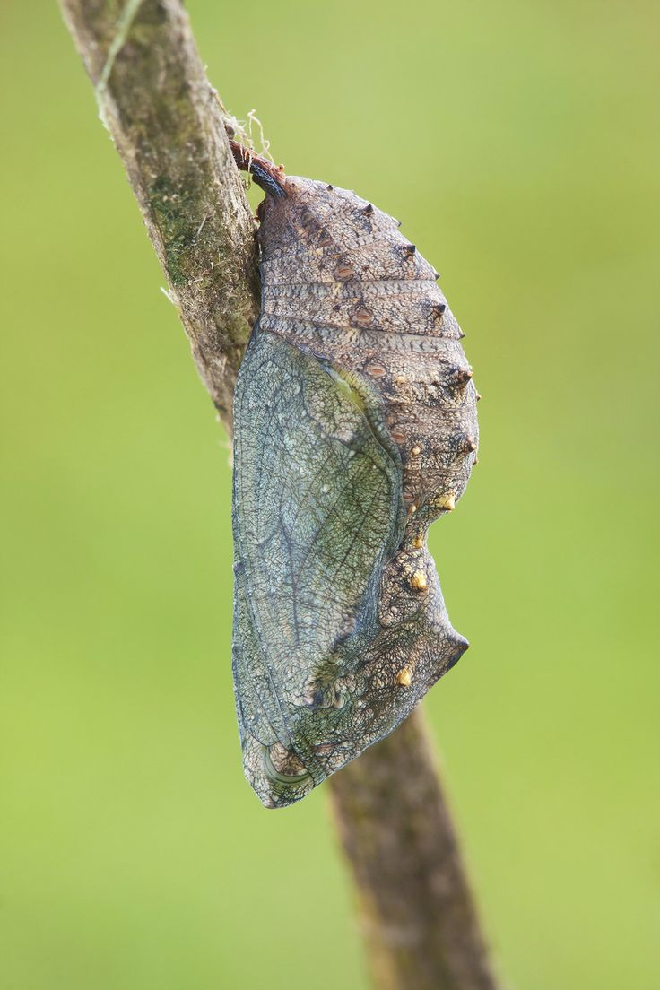 BunyipCo: Cairns Birdwing
