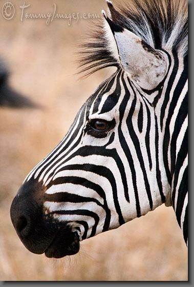 Burchell's Zebra in Tanzania - photo by Tommy Images