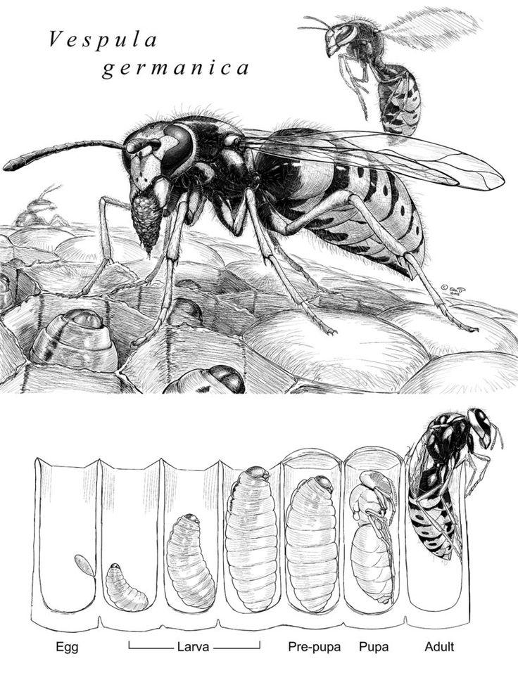 Vespula germanica ink drawing by Amuscaria on DeviantArt
