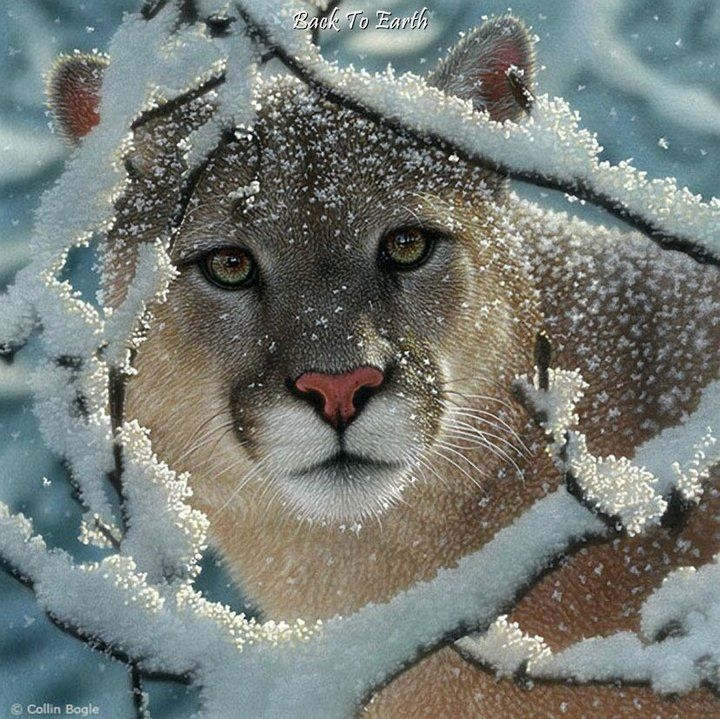 Mountain Lion in Snowy Woods. When living in East Tennessee there was a mountain lion on my farm. Kept an eye on her for several years and say her with a cub on more than one occasion.