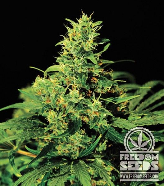 Buy Green House Seed Co Big Bang Feminised Seeds From Freedom Seeds, The  UK's best up and coming Seed Stockist. Free Seeds With Every Order, Secure,  ...