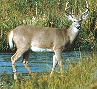 White-tailed deer. A magnificent creature.