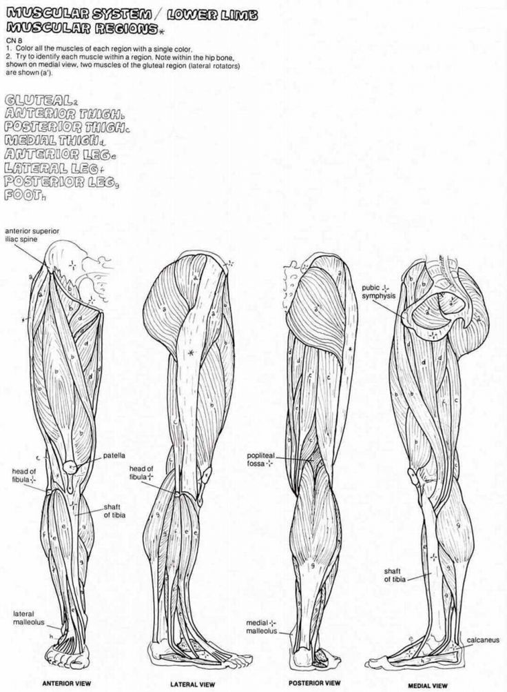 Anatomy Coloring Pages Muscles Human Anatomy Diagram