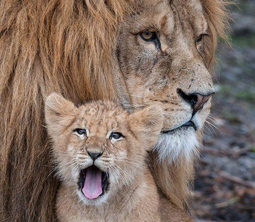 """The little Lion"" by Peter Hausner Hansen :)Big Cat, Beautiful Animal, Familia Animal, Animal Families,  King Of Beasts, Cat Big, Animal Holding,  Panthera Leo, Lion King"