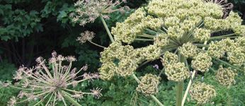 Giant Hogweed | Giant Hogweed is a poisonous, invasive plant that can cause skin rashes, burns and blisters. Find out how to protect yourself from Giant Hogweed on York.ca.