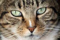 Kucing anggora milik tetangga