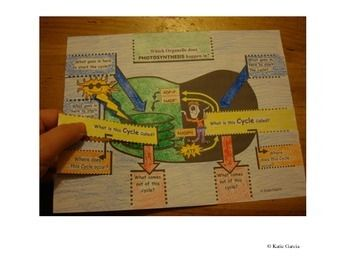 Photosynthesis Foldable on the Chloroplast - Covers the Dependent and Independent Light Reactions