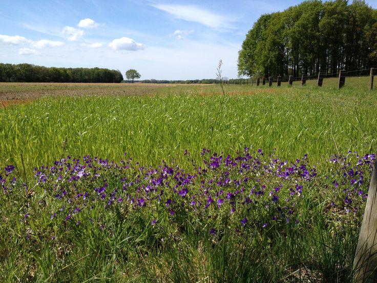 Wilde violen bij de stuw van Vilsteren in de Vecht foto. Siep van der Veen