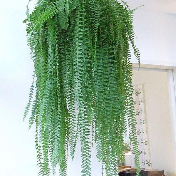 Hanging fern.