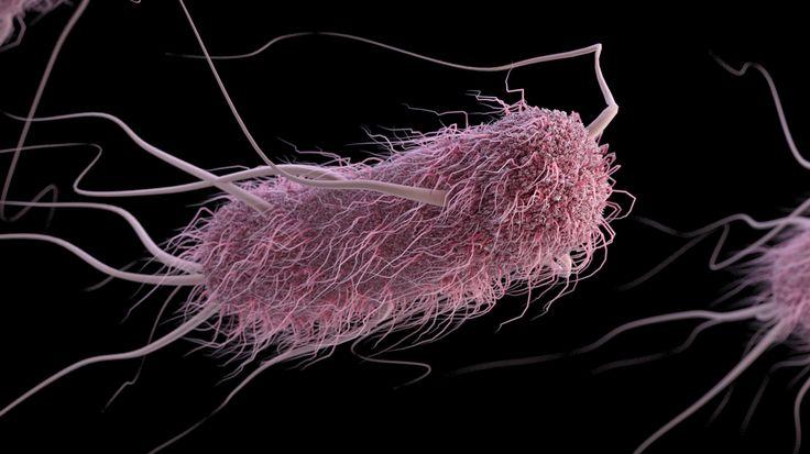 The deadly E. coli bacterium. Illustration: CDC/James Archer