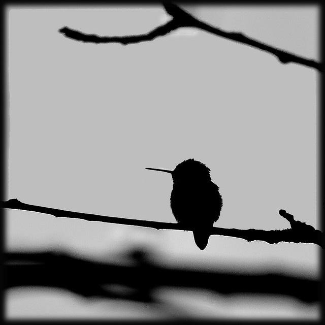 Humming bird silhouette