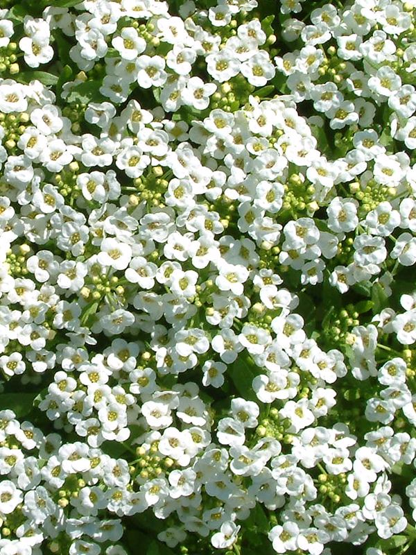 Oderings Potted Colour Alyssum Bedding Plant Extra