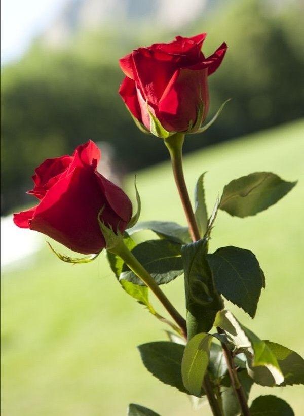 Pin By Aliceakinyi On Beautiful Flowers Beautiful Rose Flowers Beautiful Roses
