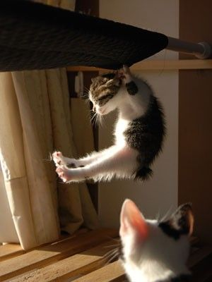 Kitty Pull-ups: Hanging, Funny Kitty, Pull Up, Crazy Cat, Nyan Cat, Kittens, Pullup, Insanity Workout, Animal