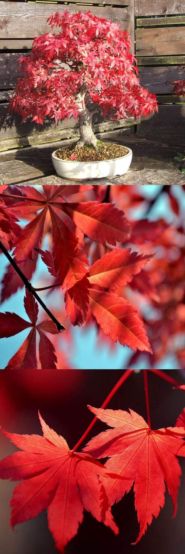 US$ 2.59 10pcs Red Maple Seeds Click to see details at Newchic.com