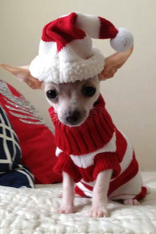 Chi in his Christmas Jumper !! ♥        ♪ ♪ ... #inspiration #diy GB http://www.pinterest.com/gigibrazil/boards/