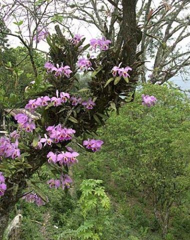 Orquídeas  Cattleya EM árvore (Latin: Cattleya) - uma família de Orquídeas   País Mestres
