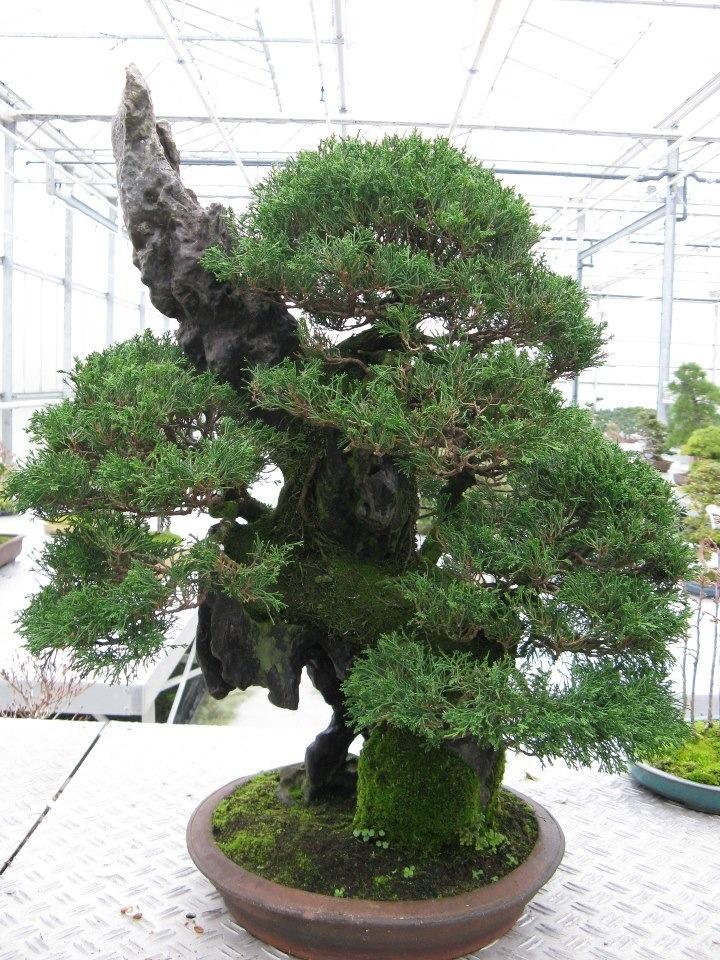 pin cool bonsai tree wallpaper desktop background in