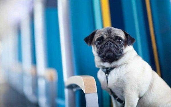 Владельцы собак проводят кампанию за то, чтоб у их пушистых попутчиков была возможность ездить в поездах Eurostar - блоги путешественников и туристов. #eurostar #dogs #pets #travelling #travel #traveltipz #trains