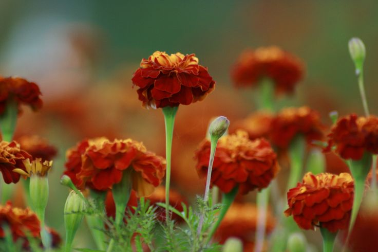 For many people, marigold flowers are among the first flowers they remember growing. While growing them is quite easy, the following article will help provide tips for their continued care.