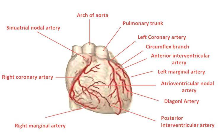 The Anatomy of Coronary Circulation