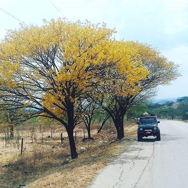 Un Hermoso cañaguate florecido en Hatonuevo #LaGuajiraMagica