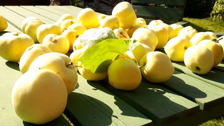 31 augusti. Första äppelskörden. Transparent blanche.