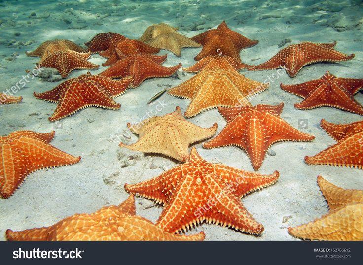 Plenty Of Cushion Starfish On A Sandy Ocean Floor Стоковые фотографии 152786612 : Shutterstock