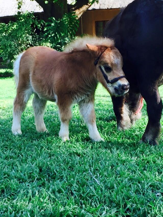 Miniature horse foal