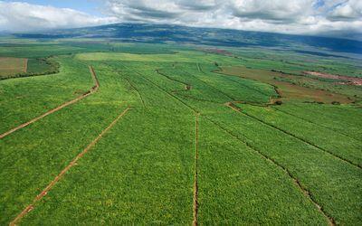Farming sugar cane, South Africa